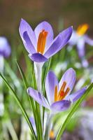 i primi fiori primaverili, crochi in una foresta foto
