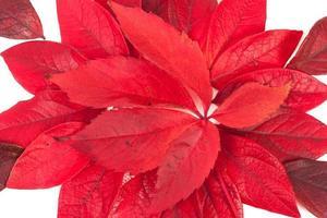 foglie di albero isolato su sfondo bianco