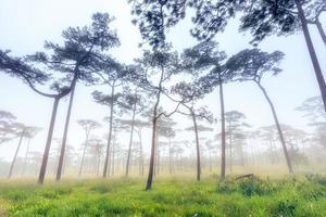 cortile di pino nebbia mattutina foto