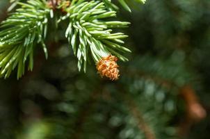 giovane ramo di abete
