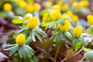 anemone fiori boccioli in fiore