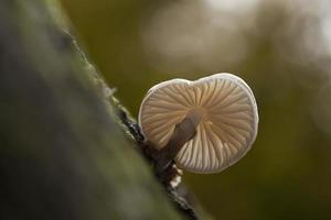 fungo di porcellana da sotto. foto