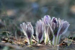 fiore pasque
