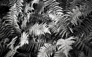 felce in bianco e nero foto