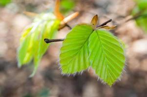 giovani foglie di faggio primaverili foto
