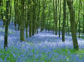 inglese bluebell wood foto
