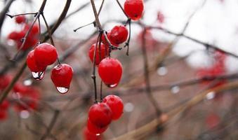 bacche rosse sotto la pioggia foto