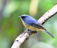 bellissimo pigliamosche blu statico, il simpatico uccellino blu appollaiato foto