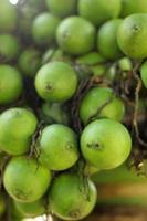 palma di betel con la natura