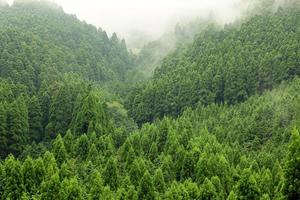 foresta di abete rosso di montagna sulla collina fith nebbia dietro