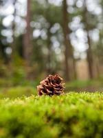 pigna sdraiato sul muschio in una foresta durante l'autunno