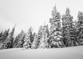 foresta di conifere invernale coperta di neve fotografia b & w