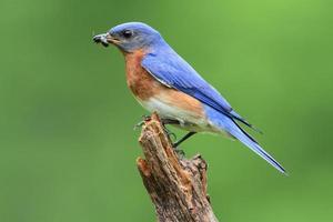 uccello azzurro orientale foto