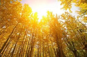 alberi di pioppo caduta d'oro