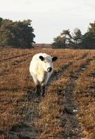 mucca in un campo di nuova foresta leccandosi il naso foto