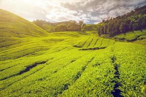 piantagione di tè in malesia foto