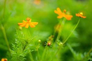 fiori cosmo foto