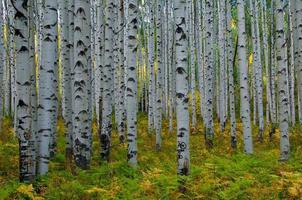 alberi di pioppo in colorado foto