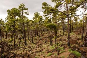 alberi di pino in un paesaggio vulcanico nel Teide National foto