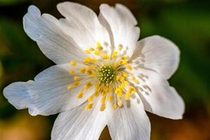 anemone di legno