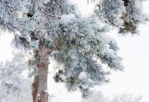 ramo di pino coperto di brina closeup foto