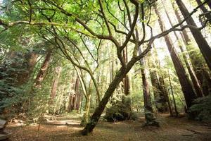 le sequoie al parco nazionale di muir woods foto