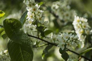 ciliegio con fiori bianchi alla luce del giorno