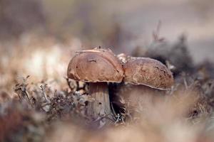 i porcini crescono in un lichene delle renne. foto