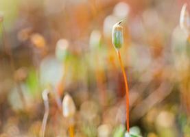 muschio in fiore foto