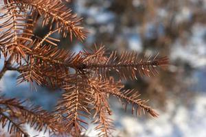 aghi secchi del primo piano dell'albero di abete foto
