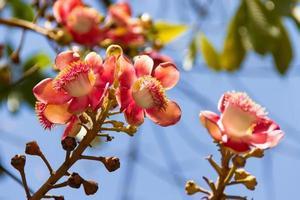 Shorea robusta fiori sull'albero foto