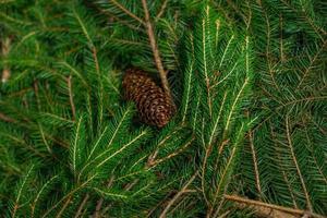 rami di un albero di Natale con lo sfondo orizzontale pigna