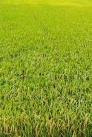 risaie verdi in thailandia.