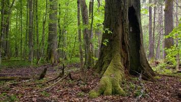 tronco di quercia molto vecchio quasi morto ancora in piedi