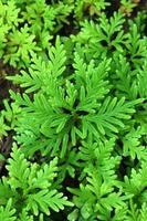 foglie verdi fresche di felce