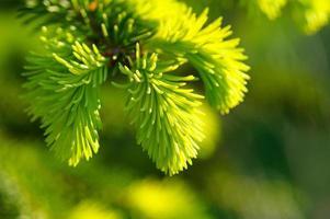 giovane ramo di un albero di pino foto