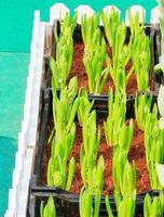 i tulipani germogliano foto