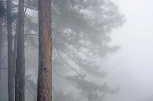 vista del baldacchino di alberi di pino nella nebbia