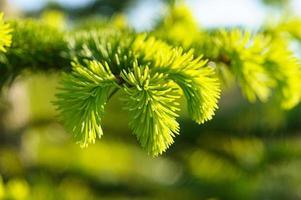 giovane ramo di un albero di pino
