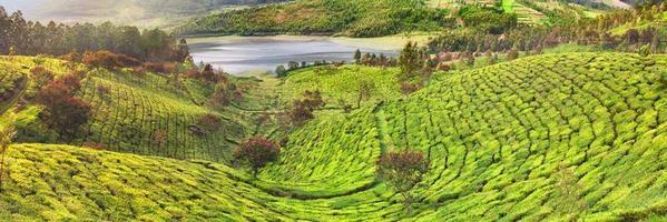 piantagione di tè a munnar, india foto