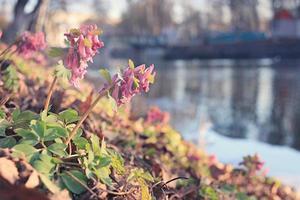 corydalis fiore di primavera foto