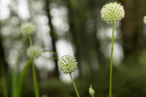 fiori bianchi. foto
