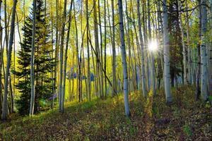 il sole splende attraverso l'alto pioppo giallo e verde foto