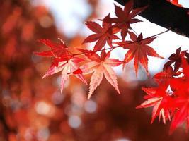 foglie d'acero