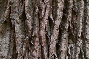 corteccia di una vecchia quercia foto