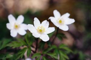 incantevole anemone foto