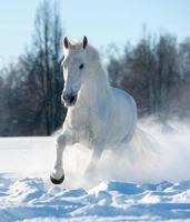 stallone bianco foto