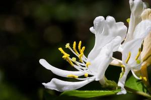 fiore di caprifoglio bianco