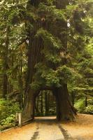 tunnel di alberi di sequoia foto