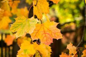 autunno dorato, foglie rosse. autunno, natura stagionale, bel fogliame foto